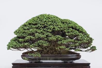 第2 回「盆栽の日」記念 貴重盆栽展