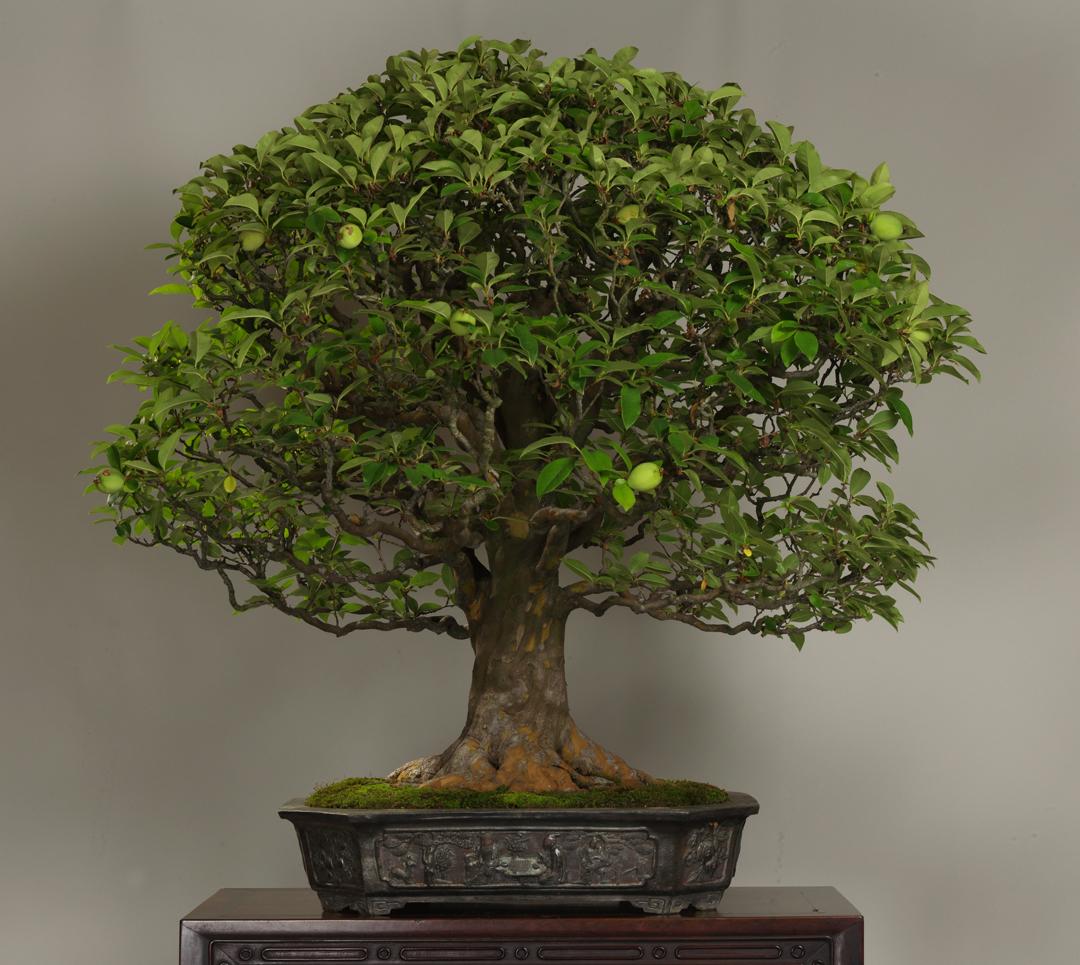 Bonsai Money Tree Stunning Feng Shui Artificial White