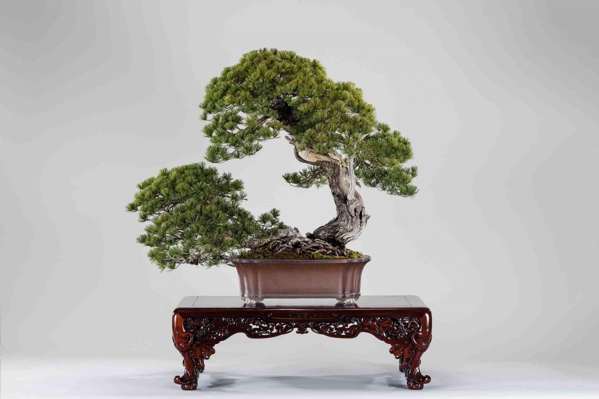 盆栽界の至宝! 五葉松「日暮し」特別展示