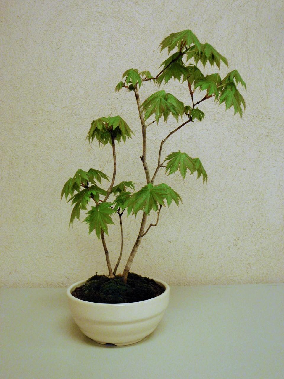 盆栽ワークショップ (令和2年4月~6月)
